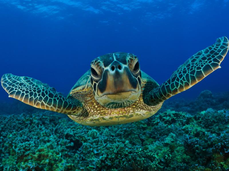 great Basses diving