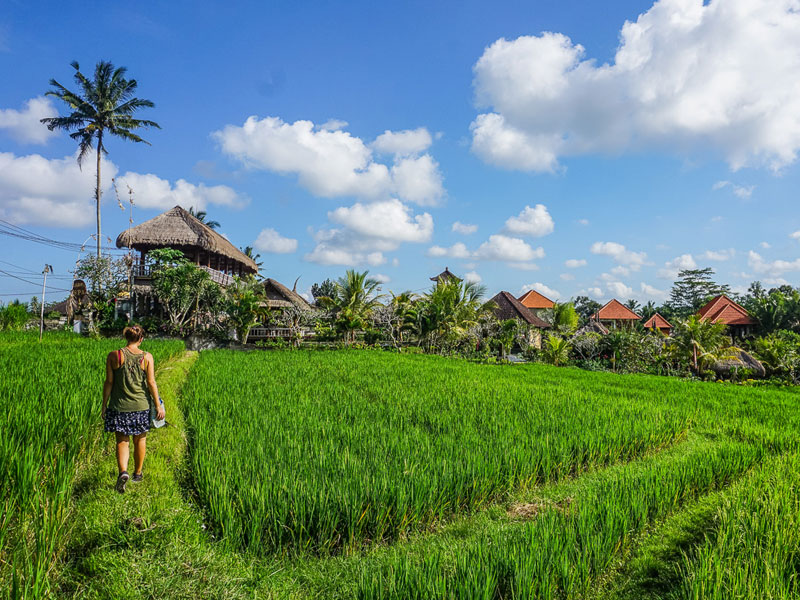 rice field of ubud
